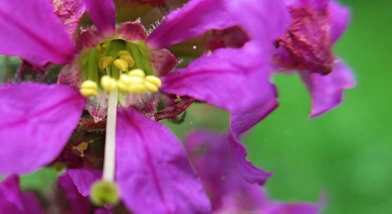 .. a taste of a summer long gone: lythrum virgatum .. (click to enlarge ..)