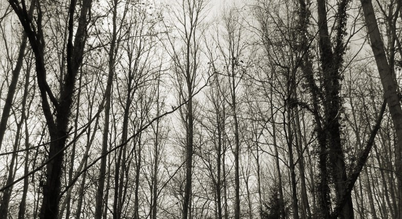 monochrome poplars in winter .. (click to enlarge ..)