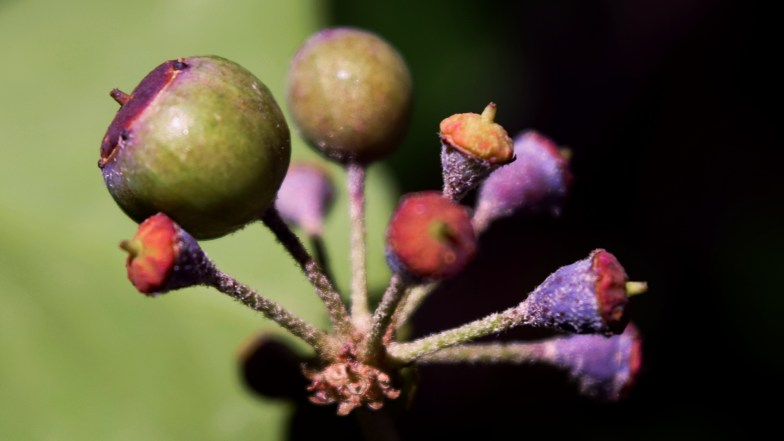 common ivy berries .. (do not eat) ... (click to enlarge ..)