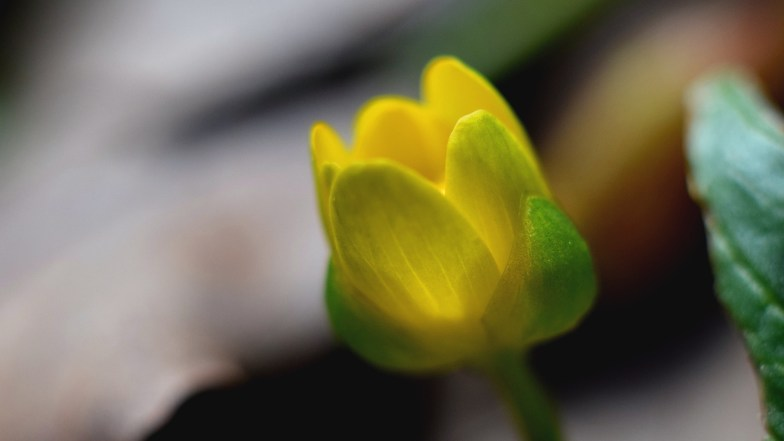 celandine, veiled and a little foggy ... (click to enlarge ..)