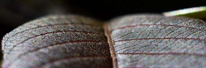 fresh walnut leaf .. (click to enlarge ..)