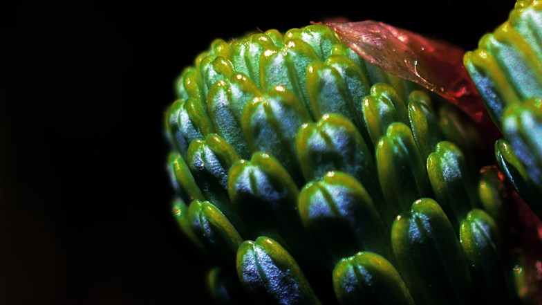 growing tip .. norway spruce .. (click to enlarge ..)