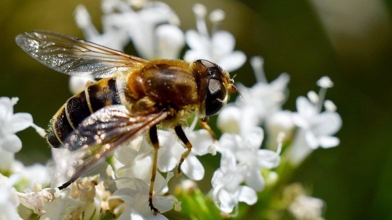 hover fly on valerian .. (click to enlarge ..)