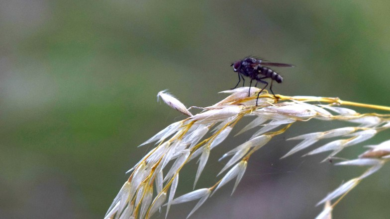 housefly on tall fescue ... (click to enlarge ..)