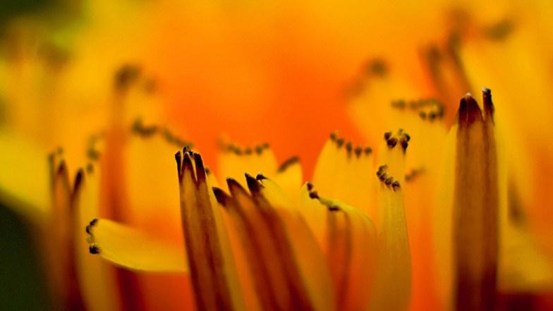 'artsy' alpine dandelion .. (click to enlarge ..)