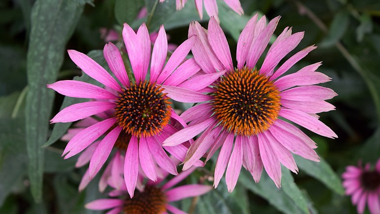 two purple coneflowers ... (click to enlarge ..)
