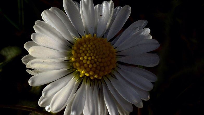 darker Daisy .. (click to enlarge ..)