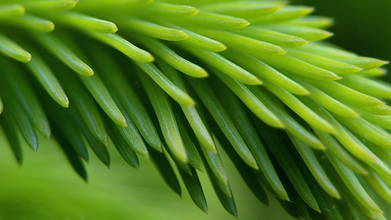 common fir shoot, showing stomata .. (click to enlarge ..)
