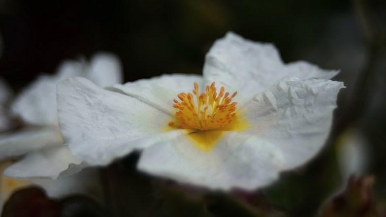 himalayan rock rose .. (click to enlarge ..)