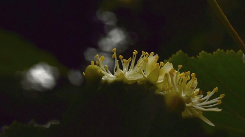 Linden Blossom ... (click to enlarge ..)