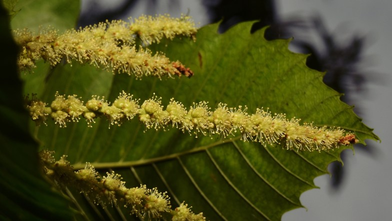 sweet chestnut blooming ... (click to enlarge ..)