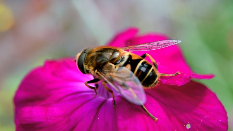 hoverfly ... (click to enlarge ..)