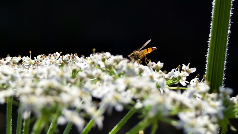 hogweed and hoverfly .. (click to enlarge ..)