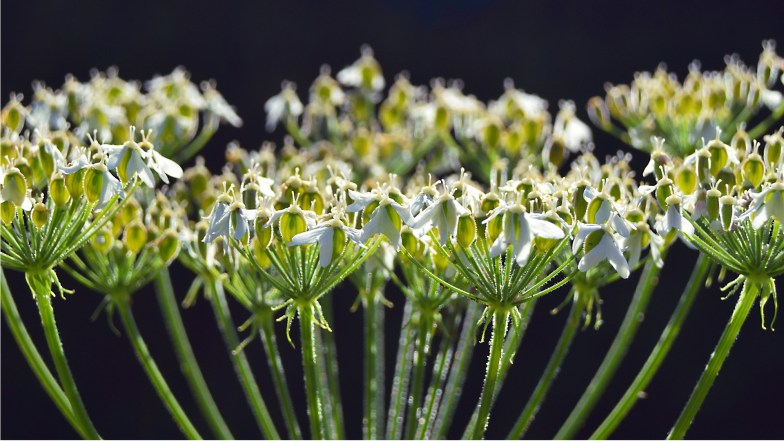 hogweed ... (click to enlarge ..