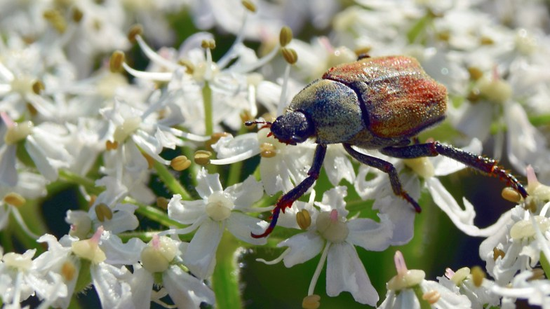 alpine beetle on hogweed .. (click to enlarge ..)