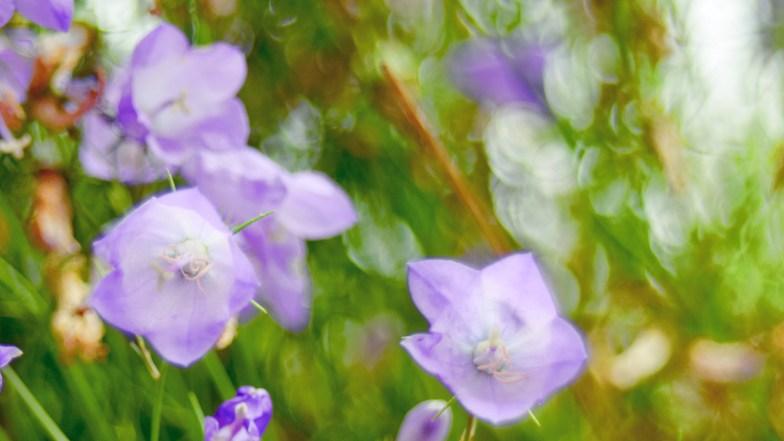 spreading bellflower ... (click to enlarge ..)