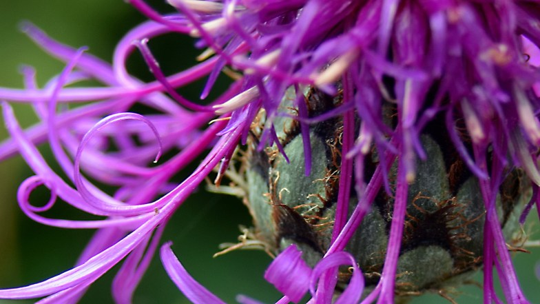 greater knapweed close up ... (click to enlarge ..)