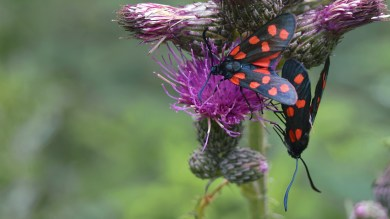 Two Six-spot Burnets ... meeting each other .. (click to enlarge ..)