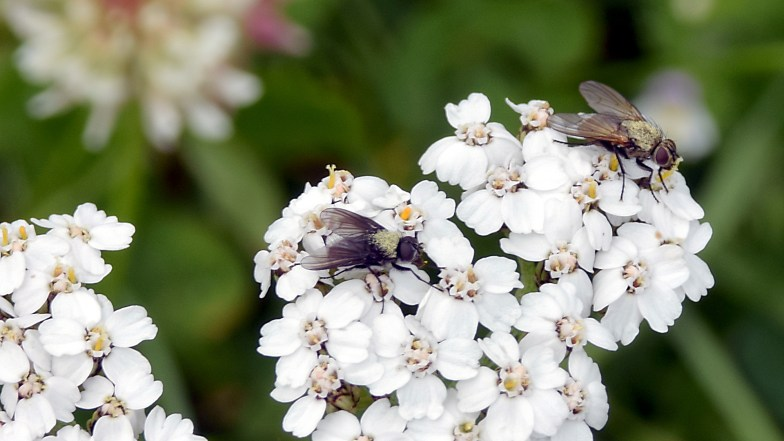 alpine fly and yarrow .. (click to enlarge ..)