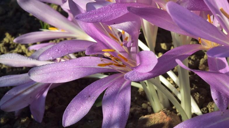 meadow saffron .. (click to enlarge ..