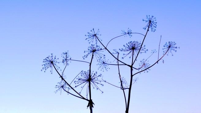 cartwheel flower multi-radio-probing the skies .. (click to enlarge ..)