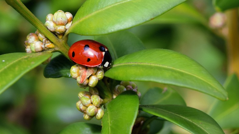 buxus sempervirens and resident .. (click to enlarge ..)
