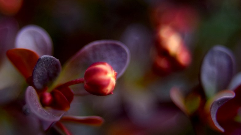 red barberry flower bud .. (click to enlarge ..)