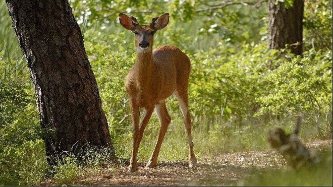 Mr Deer