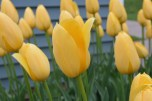 I went to tulip time in Iowa