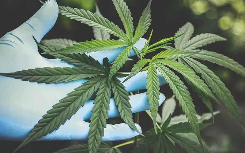 phoenix marijuana seeds for sale