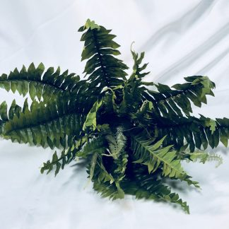 Boston Fern Large