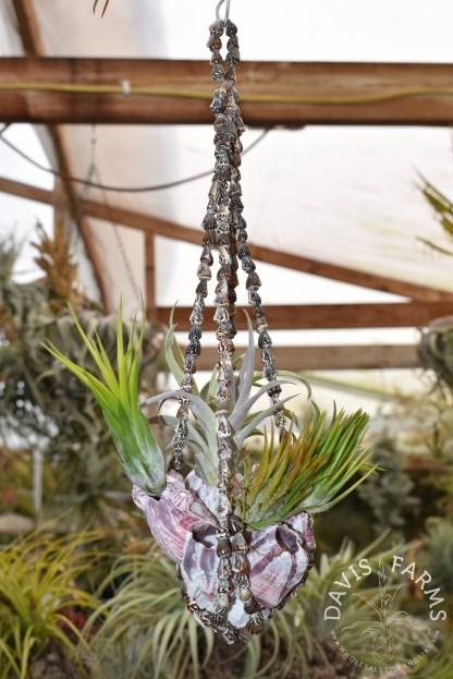 Seashell hanger with barnacle