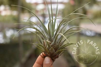 Vriesea chontalensis
