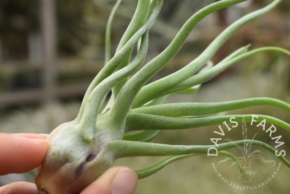Tillandsia bulbosa x streptophylla 'Showtime'