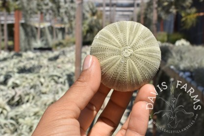 Green sea urchin shell, small