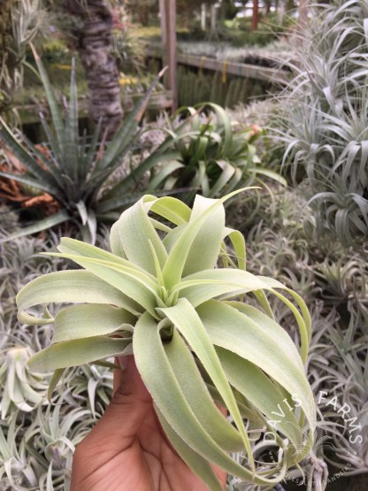 Tillandsia cacticola regular