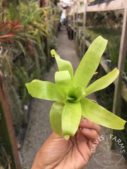 Tillandsia fraseri seedling small