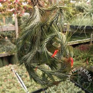 Tillandsia funckiana type 2 clump