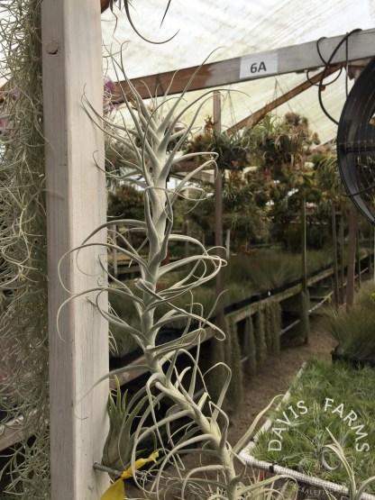 Tillandsia paleacea species xl