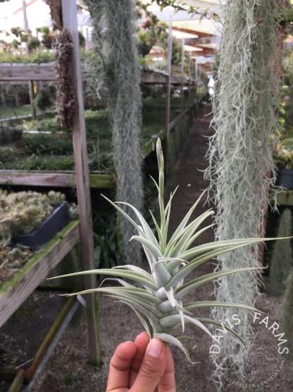 Tillandsia purpurea no.2