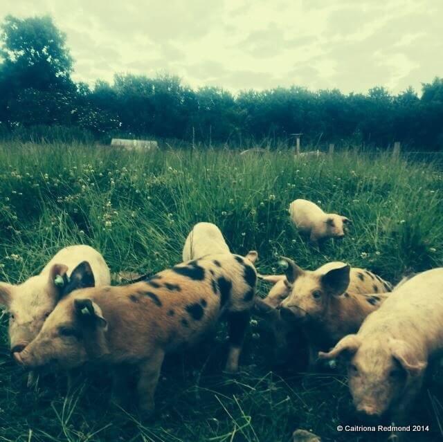 Free Range Pigs - Caitriona Redmond - Wholesome Ireland