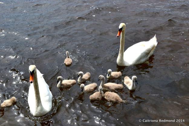 Swans On Lough Derg