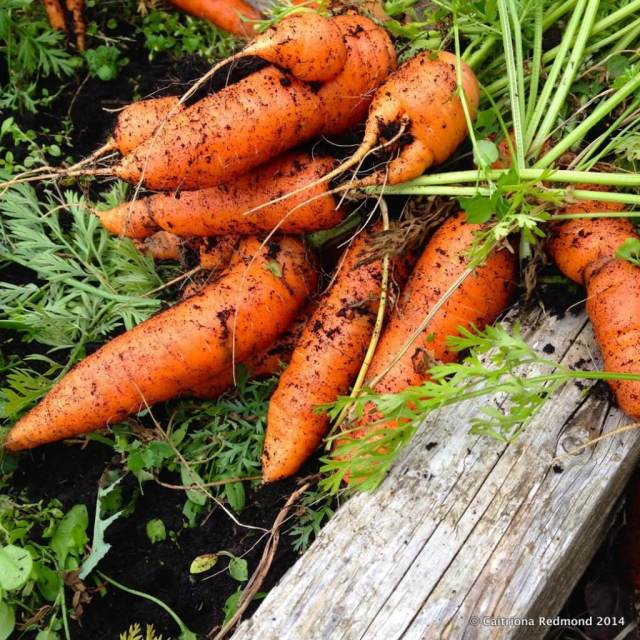 Homegrown Carrots - Wholesome Ireland