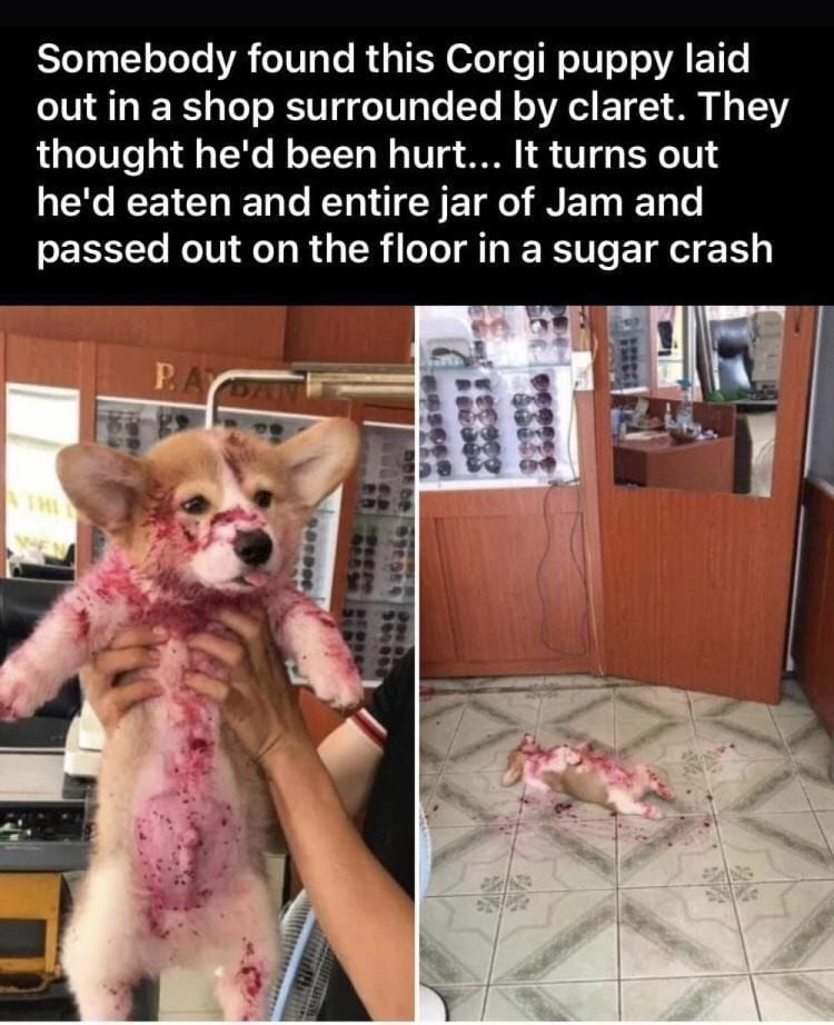 Corgi puppy with red jam all covered.
