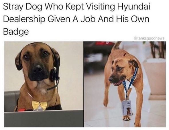 Medium dog with headset for phone and wearing a working badge.