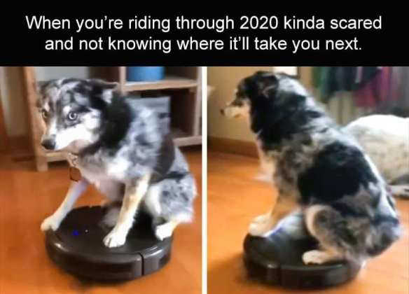 Life with dogs. Aussie riding a roomba as it cleans.