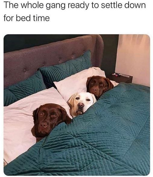 Three Labs tucked in a human bed.