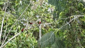 Masked crimson tanager at display