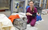 Cats caught in humane traps for TNR await  surgery in the Willamette Humane Society Spay & Neuter Clinic