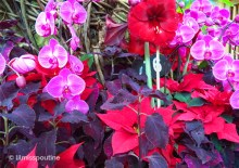 Poinsettia and Fuschia